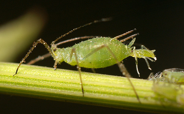 Steady rainfalls may be behind drop in aphid infestations