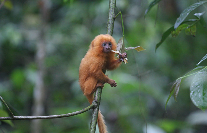 The baby golden lion tamarin eats while sitting in a tree.