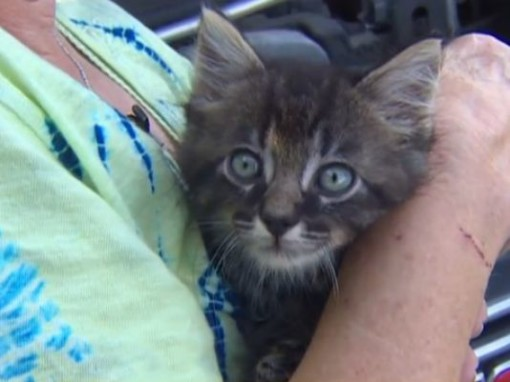 (Photo: KHOU 11 News)A This very small kitten survived flooding by hiding under the hood of a womans car.