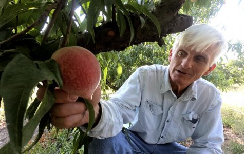 Texas Hill Country peach growers ready for plentiful crop