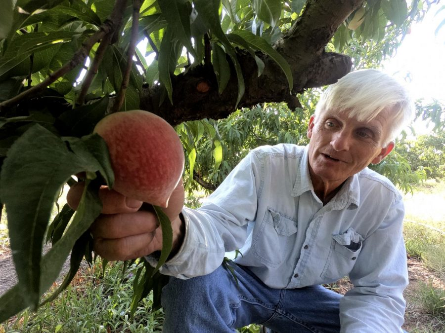 Russ Studebaker examines peaches on his farm near Fredericksburg, Texas.