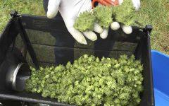 Legal marijuana shops in Oregon in danger of losing their business