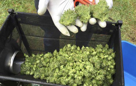 A marijuana harvester examines buds