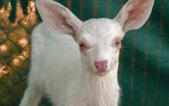Rare albino fawn rescued by trucker in California