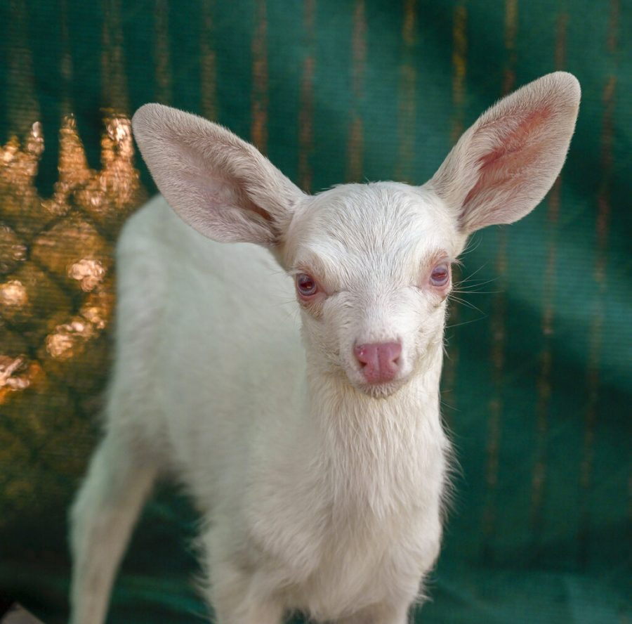 An albino fawn, who was rescued by a trucker in Woodland, California, is cared for at the Kindred Spirits Fawn Rescue Thursday on May 30 in Loomis, California. She will be released back into the wild in the fall, after hunting season.