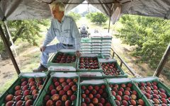 Russell Studebaker checks just-picked peaches on Wednesday, May 22,  in his Studebaker Farms orchard east of Fredericksburg, Texas. Many Hill Country peach producers are reporting abundant crops of quality peaches.