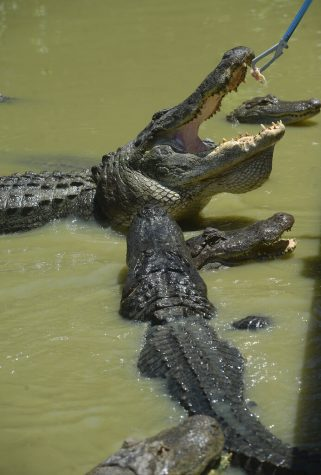 A pondful of hungry adult alligators get a chicken lunch at Gator Country in Fannett, Texas, on May 11. Gator Country reopened the first weekend in May after being closed for weeks amid COVID-19 restrictions.